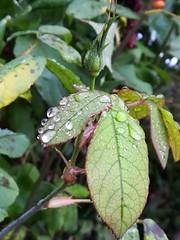Bud. (daveandlyn1) Tags: petals droplets waterdroplets rosebud leaves water aftertherain pralx1 p8lite2017 huawei folige