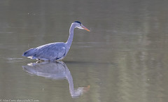 9Q6A4806 (2) (Alinbidford) Tags: alancurtis brandonmarsh greyheron nature wildlife