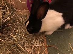 Got our appetite back a little (MrBigglesworth) Tags: rabbit bunny dutchrabbit