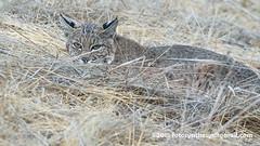 Western Bobcat (Lynx rufus fasciatus) DSC_0070 (fotosynthesys) Tags: westernbobcat lynxrufusfasciatus lynxrufuscalifornicus bobcat lynx cat felidae mammal california unitedstates