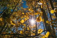 Fall Aspens (M///S///H) Tags: lenstagger nm autumn fall newmexico taos taosnewmexico taosskivalley