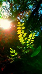 AUTUMN ILLUMINATION (novaexpress93) Tags: novaexpress93 backlight foliage leaves sun forest nature plants trees lensflare