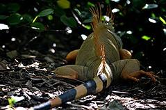 Sunlit Golden Iguana turned and ambled off into the brush (jungle mama) Tags: iguana lizard reptile golden stripe orange scale fairchildtropicalbotanicgarden fairchildgarden susanfordcollins otto dewlap coth