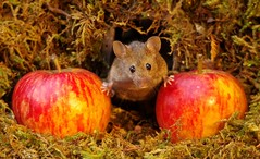 wild house mouse with apples  18 oct  (8) (Simon Dell Photography) Tags: mouse mice animals nature wildlife wild autumn fall festive seasonal season uk garden english country old bright vibrant display scene george simon dell photography card posters prints christmas xmas cute fun funny
