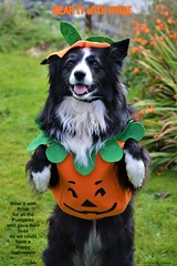 Wear it with Pride (ASHA THE BORDER COLLiE) Tags: funny halloween picture pumpkin dog quote costume cute orange ashathestarofcountydown connie kells county down photography