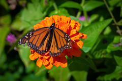 Butterfly Feeding on Nectar (John Brighenti) Tags: nature flowers brooksidegardens wheaton maryland montgomerycounty moco montgomeryparks outdoors conservatory park autumn fall plants green butterfly monarch orange insect nectar wings sony alpha a7 a7rii ilce7rm2 sel70300g