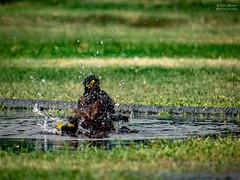 Time to get relief from hot weather ! (Vijesh Kannan) Tags: indianphotography newdelhi myna water waterdrops pond birds