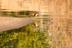 Young African Jacana, on the Luangwa River in Dry Season (sharon.verkuilen) Tags: africa zambia luambe luangwariver bird africanjacana safari sonya7rii