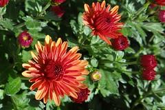 Herbstaster (Gartenzauber) Tags: tropfen regentropfen garten sony aster floralfantasy