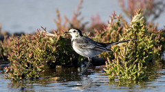Pied Wagtail (NickWakeling) Tags: piedwagtail norfolk salthouse canoneos7dmarkii sigma150600mmf563dgoshsmcontemporary