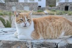 fullsizeoutput_90c0 (lnewman333) Tags: sifnos siphnos greece europe cyclades aegeansea faros island beach apokoftobeach cat tabby straycat feline