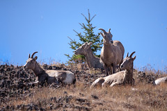 Sheep On The Hill (BP3811) Tags: 2018 bighornsheep nationalpark september wyoming yellowstone