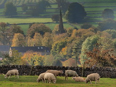 Autumn-grazing (johnb/Derbys/UK) Tags: autumn derbyshireuk monyash sexylegs sheep trees view pov fields