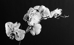 Estudo de Orquídeas I (Carla Robalo Martins) Tags: flor orquídea orchidaceae orchid pb bw
