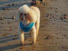 Poodle on St Helens Beach-EA100655 (tony.rummery) Tags: beach em10 england evening eveningsun iow isleofwight mft microfourthirds omd olympus poodle sthelens sunny unitedkingdom gb