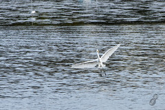 Aloha365 - Day 158 - September 22, 2018 - Coming in for a landing (alohadave) Tags: 365project aloha365 animals ardeaalbaegretta autumn birds fall flowing greategret greatwhiteegret greatwhiteheron hingham massachusetts northamerica overcast pentaxk3 places plymouthcounty river season sky stoddersneck unitedstates water weymouthbackriver smcpda60250mmf4edifsdm