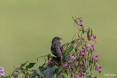 SO8A5042 (Risto Kuisma) Tags: varpunen canon green outdoor nature birdlife bird lintu finland finlande housesparrow