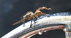 A thirsty Huntsman Spider (Riley-Dobe) Tags: spider australia tap hunstman legs waterdrops d500 70200mm