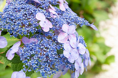 Hydrangea (lwgeiger) Tags: sandwichmassachusettsplaces gardens hydrangea flora