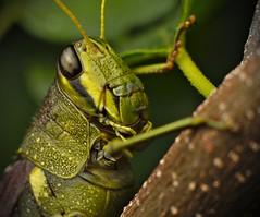Texas Bush Katydid (dr_scholz@ymail.com) Tags: texasbushkatydid macro scudderiatexensis 11 lifesize insect cricket invertebrate leica leicasl zeissmilvus2100m novoflexbellow flash milvus2100m carlzeiss