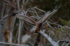 Spotted Harrier (Jeff_Warner) Tags: nikond500 nikon200500f56 spottedharrier birdsinflight birdsofpray bird