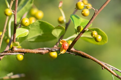 Oriental Bittersweet (Mingtao Zhao) Tags: acornpark cambridgediscoverypark cambridgema celastrusorbiculatus orientalbittersweet chinesebittersweet