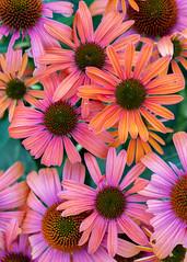 Cone flowers (billcoo) Tags: 6d2 6dii 2 macro coneflower plant garden explore