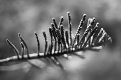 Underwater Dream (belleshaw) Tags: blackandwhite catalinaisland nature avalon tree branch plant evergreen needles detail texture bokeh abstract