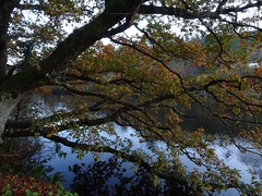 Overhanging oak (Phil Gayton) Tags: scenery water tree sky leaves foliage autumn fall oak riverside walk river dart totnes devon uk quercusrobur