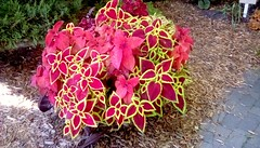 Library garden plant! (Maenette1) Tags: garden plant coleus spiespubliclibrary menominee uppermichigan flicker365 allthingsmichigan absolutemichigan projectmichigan