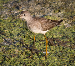 Lesser Yellowlegs foraging (tresed47) Tags: 2018 201809sep 20180919bombayhookbirds birds bombayhook canon7dmkii content delaware folder lesseryellowlegs peterscamera petersphotos places season september shorebirds summer takenby us yellowlegs