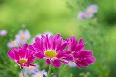 chrysanthemum 5349 (junjiaoyama) Tags: japan flower plant chrysanthemum mum pink autumn fall macro bokeh