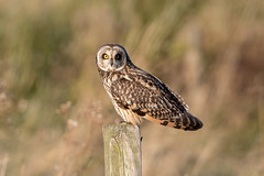 Short Eared Owl (Simon Stobart - Back But Way Behind) Tags: short eared owl asio flammeus post sat north east england uk ngc