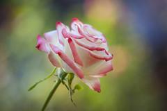 Nevena Uzurov - October light on Rose (Nevena Uzurov) Tags: rose romantic love petals light bokeh plant nature mygarden autumn october delicate beautiful darling heart nevenauzurov serbia