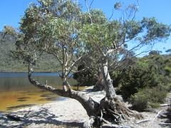 IMG_3824 (shearwater41) Tags: australia tasmania cradlemountain dovelake tree lake beach