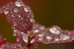 1079 (P. Koskela) Tags: macro sigma150mm128apomacrodghsm droplets autumncolors fall syksy makro pisarat juolukka levitunturi bokeh lapland