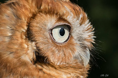 Eastern Screech Owl, red phase (misspt76) Tags: owl owls screech wildlife