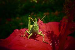 Solo.....color.......luz.......y......sur... (pp diaz) Tags: bicho animal insecto saltamontes saltipajo grasshopper color luz enfoque costaballena rota cádiz andalucía españa