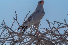 Rapace ( Philippe L PhotoGraphy ) Tags: afrique namibie oshikotoregion na afric namibia désert etosha fauve dunesoiseaux rapace philippelphotography