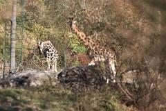 Opel Zoo (James Bimmel) Tags: opelzoo tiere herbst sommer sonne oktober elefant flamingo gnu stachelschwein giraffe erdmännchen