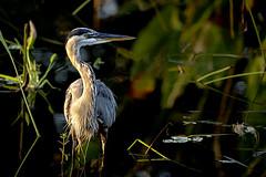 AJC07003_10132018 (acomanda) Tags: heron wakodahatcheewetlands greatblueheron southflorida