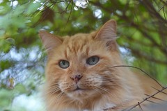 Madison has very pretty eyes. (rootcrop54) Tags: madison longhaired longhair orange tabby male cat neighbor intimidating camillesspot neko macska kedi 猫 kočka kissa γάτα köttur kucing gatto 고양이 kaķis katė katt katze katzen kot кошка mačka gatos maček kitteh chat ネコ