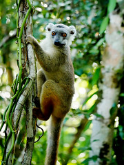 Common Brown Lemur (Eulemur collaris) (Susan Roehl) Tags: •madagascar2017 islandofmadagascar offtheeastcoastofafrica andasibemantadianationalpark commonbrownlemur eulemarfulvus primateanimal mammal endangeredlist lemuridaefamily dietconsistsprimarilyoffruits youngleaves flowers invertebrates cicadas spiders millipedes bark sap soilandredclay varietyofforesttypes lowlandrainforests montanerainforests moistevergreenforests drydeciduousforests groupsof5to12 nodiscernibledominance activeduringday sueroehl photographictours naturalexposures panasonic lumixdmcgh4 100400mmlens handheld slightlycropped tree wood forest coth ngc coth5