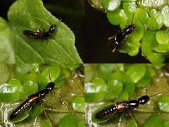 EOS 7D Mark II_075138_C (Gertjan Kamsteeg) Tags: animal invertebrate bug macro insect rovebeetle staphylinidae beetle