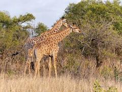 Giraffes graze on tree foliage (tbeckeryvr) Tags: giraffes south africa game reserve feeding wildlife tree vegetation afternoon sun nature