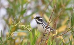 Black-throated Gray Warbler (Christopher Lindsey) Tags: sanjacinto wildlifearea birds birding blackthroatedgraywarbler california riversidecounty