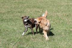 Bear-136 (dai-chan) Tags: 70200mmf28gvrii bear d5 nikon nikkor dog dogs friends golden retriever play playing park fun enjoy
