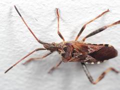 EOS 7D Mark II_075204 (Gertjan Kamsteeg) Tags: animal invertebrate bug macro insect truebug heteropteran heteroptera coreidae westernconiferseedbug leptoglossusoccidentalis