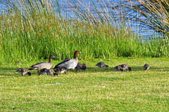 (294/365) Sunday October 21st (philk_56) Tags: south perth western australia foreshore lake australian wood duck family ducklings birds waterbirds