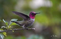 Anna's Hummingbird (no edit) (Thy Photography) Tags: wildlife animal nature outdoor backyard california bird sunrise sunset dawn dusk sunshine thyphotography avian annashummingbird flowers sonya9 jpeg noedit